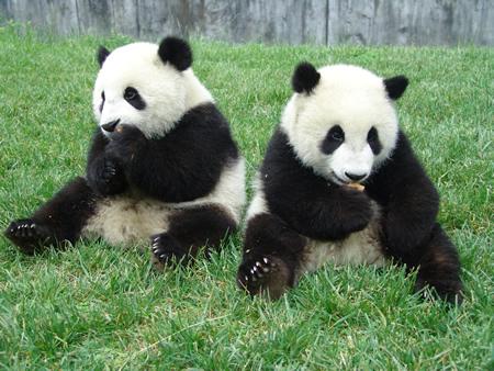 giant pandas in singapore weehingthong