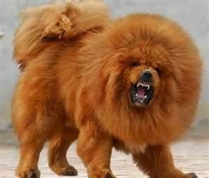 Largest Dogs Tibetan Mastiffs Great Danes Irish
